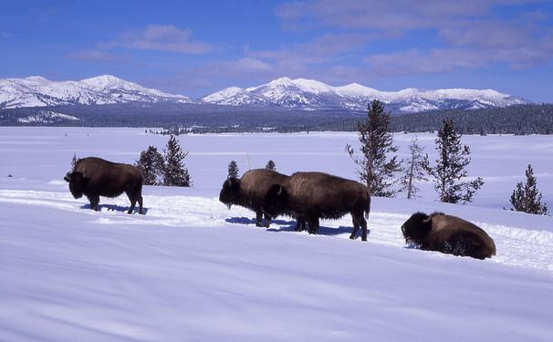 hiking with bison near denver